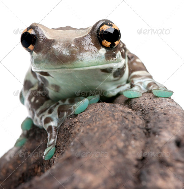 Amazon Milk Frog - Trachycephalus resinifictrix - Stock Photo - Images