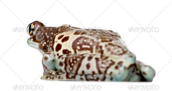 Amazon Milk Frog - Trachycephalus resinifictrix - Stock Photo - Images