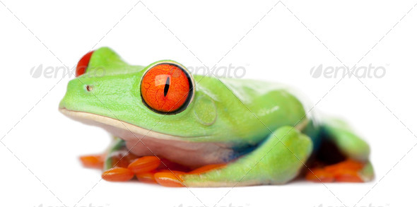 Red-eyed Tree Frog - Agalychnis callidryas - Stock Photo - Images