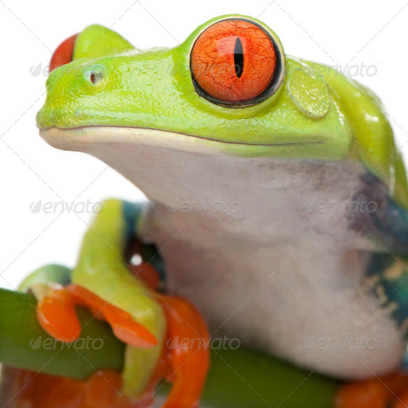 close-up on a Red-eyed Tree Frog - Agalychnis callidryas - Stock Photo - Images