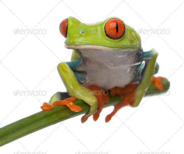 Red-eyed Tree Frog, Agalychnis callidryas, in front of white background - Stock Photo - Images