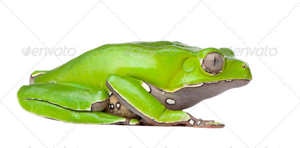 Giant leaf frog - Phyllomedusa bicolor - Stock Photo - Images