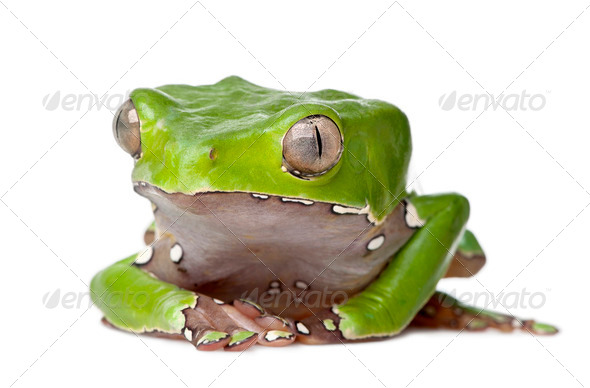 Giant leaf frog, Phyllomedusa bicolor, sitting in front of white background, studio shot - Stock Photo - Images