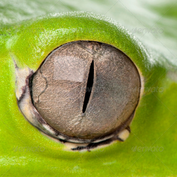 Close-up of Giant leaf frog eye, Phyllomedusa bicolor - Stock Photo - Images