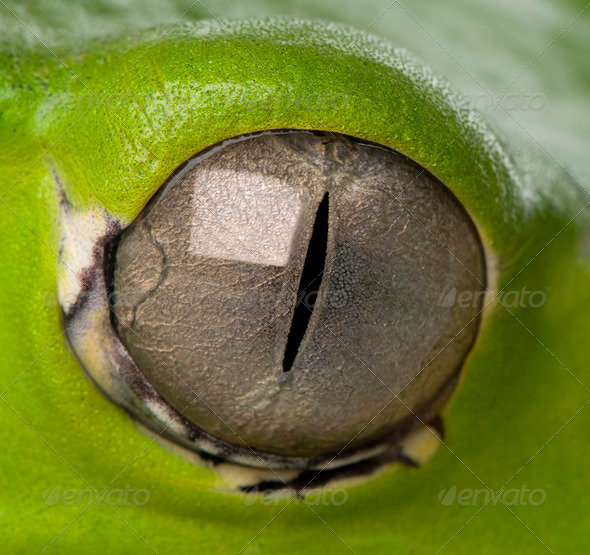 close-up on a frog eye - Stock Photo - Images