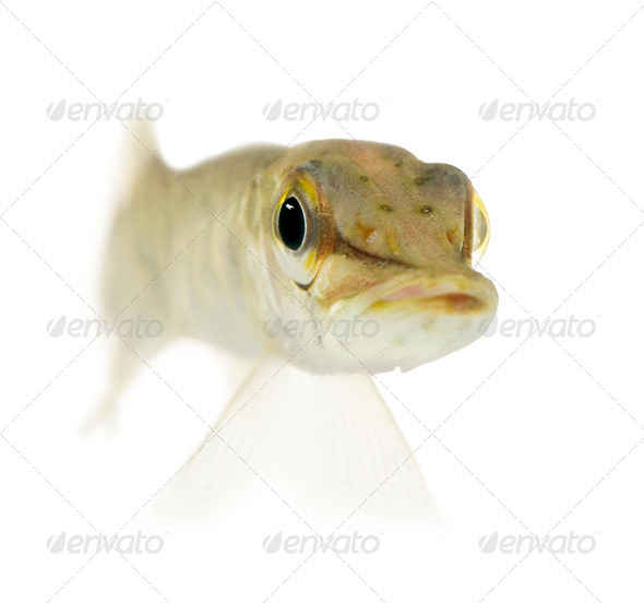 Young Northern pike - Esox lucius (1 years) - Stock Photo - Images