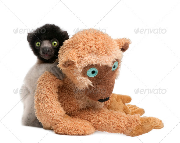 young Crowned Sifaka with his teddy bear  - Propithecus coronatus (3 months) - Stock Photo - Images