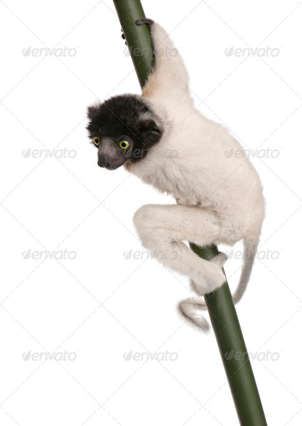 young Crowned Sifaka - Propithecus coronatus (3 months) - Stock Photo - Images