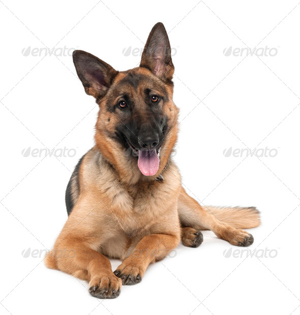german shepherd (13 months old) - Stock Photo - Images