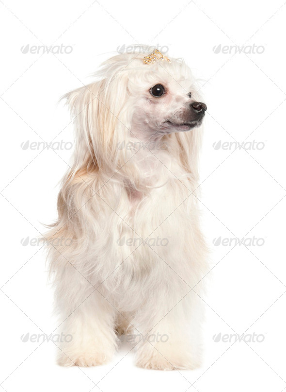 Chinese Crested Dog - Powderpuff ( 4 years old) - Stock Photo - Images
