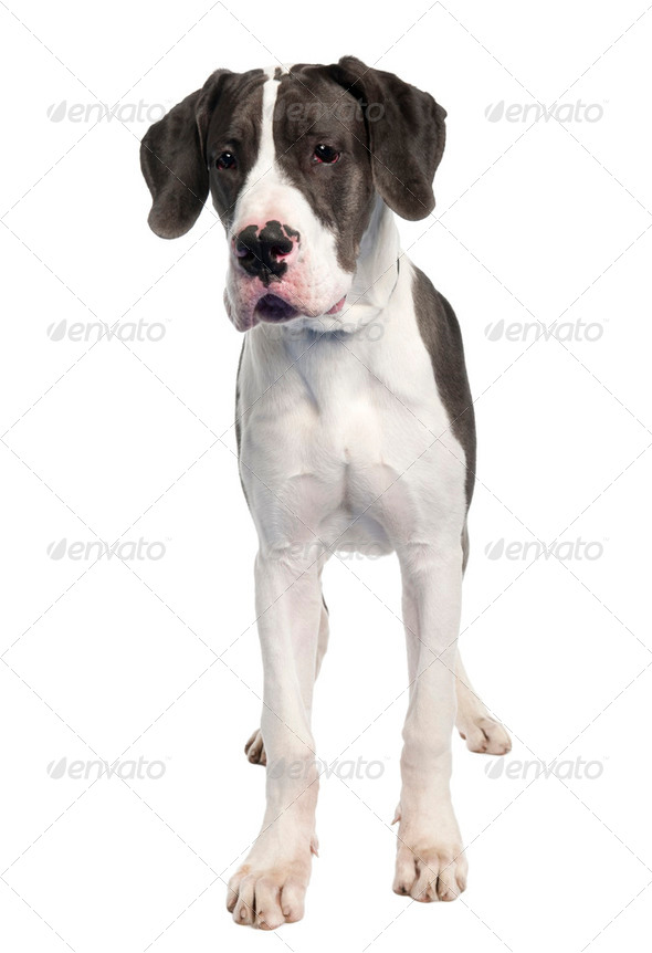 Great Dane puppy (6 months old) - Stock Photo - Images
