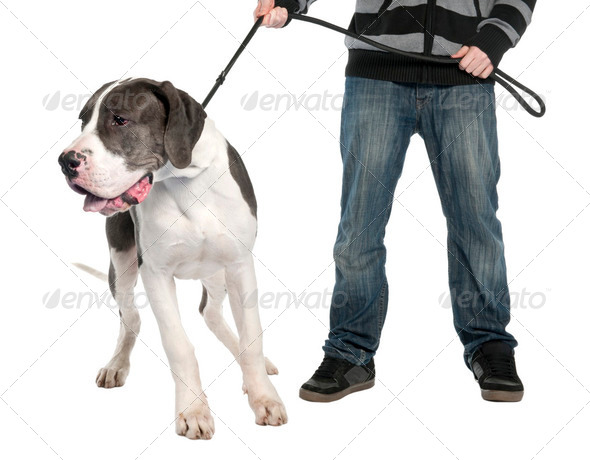 Great Dane puppy on a leash (6 months old) - Stock Photo - Images