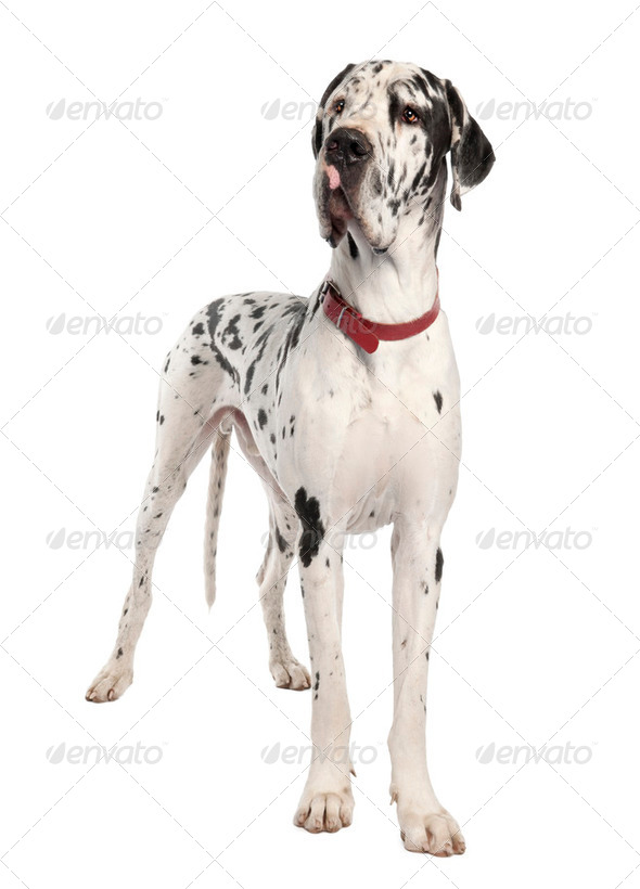 harlequin Great Dane (3 years old) - Stock Photo - Images