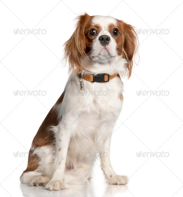 Cavalier King Charles Spaniel (1 year old) - Stock Photo - Images