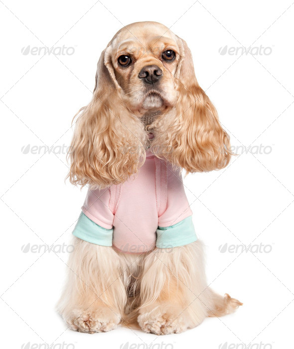 American Cocker Spaniel (2 years old) - Stock Photo - Images