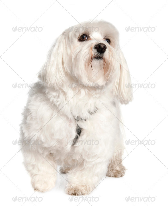 maltese dog (3 years old) - Stock Photo - Images