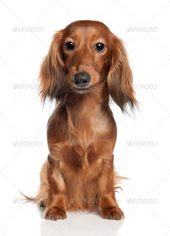 Dachshund (1 year old) - Stock Photo - Images