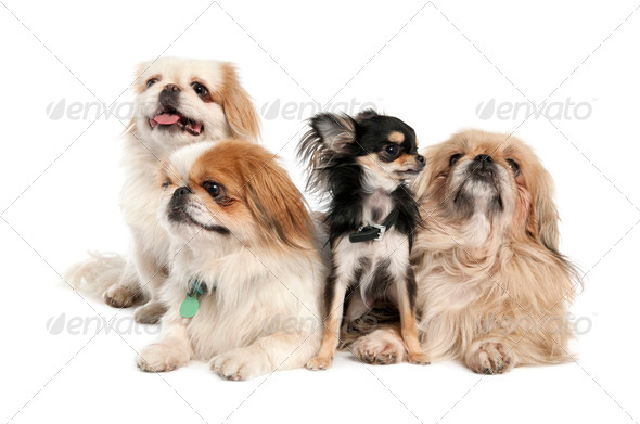 groupe of 3 Pekingeses and a chihuahua - Stock Photo - Images