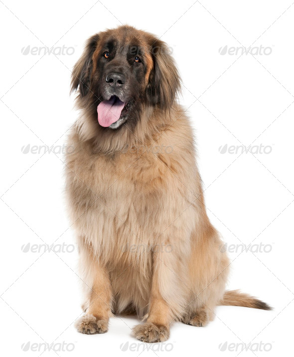 Leonberger( 6 years old ) - Stock Photo - Images