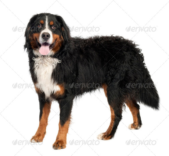 Bernese mountain dog (10 months old) - Stock Photo - Images