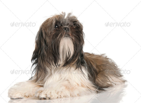 Shih Tzu puppy (8 months old) - Stock Photo - Images