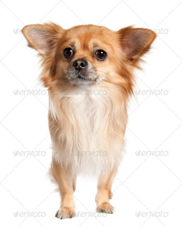 long haired chihuahua (3 years old) - Stock Photo - Images