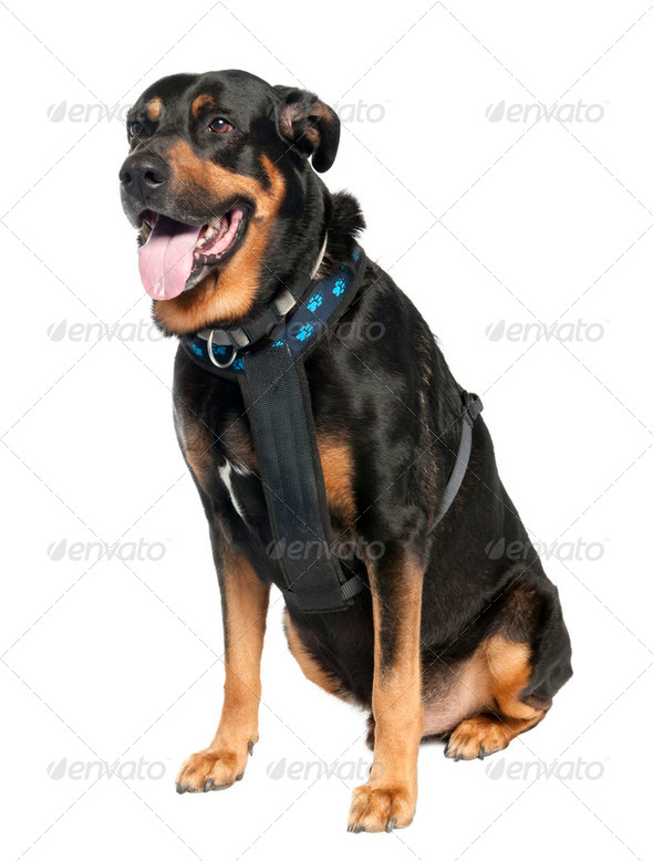 Mixed-Breed Dog between a Doberman and a German Shepherd - Stock Photo - Images