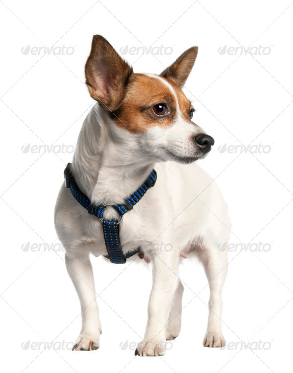 Jack russell (5 years old) - Stock Photo - Images