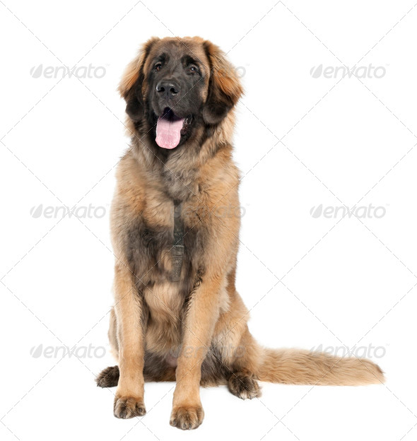 Leonberger (7 months old) - Stock Photo - Images