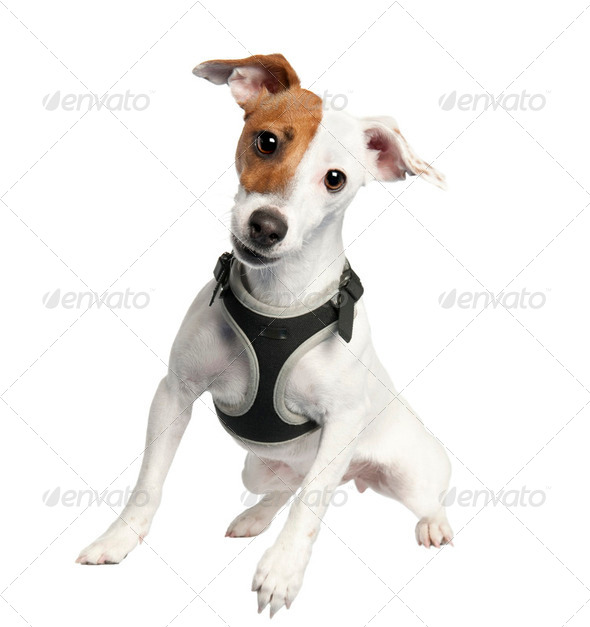 Jack russell (9 months old) - Stock Photo - Images