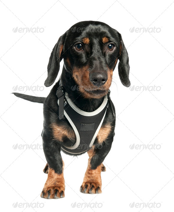 Dachshund (9 months old) - Stock Photo - Images