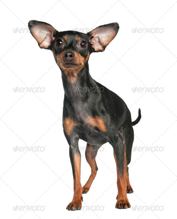 Pinscher (18 months old) - Stock Photo - Images