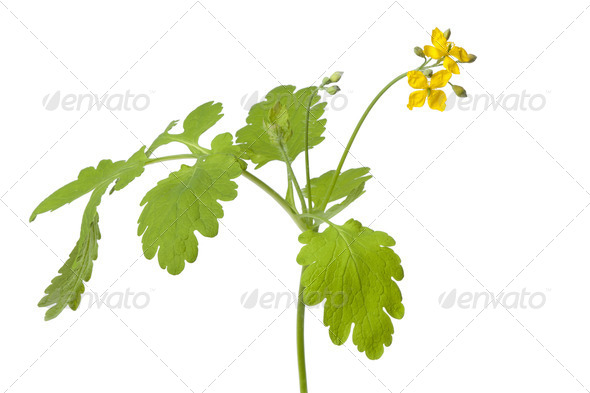 Twig of fresh common rue - Stock Photo - Images