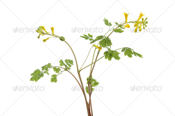 Twig of flowering Rue - Stock Photo - Images