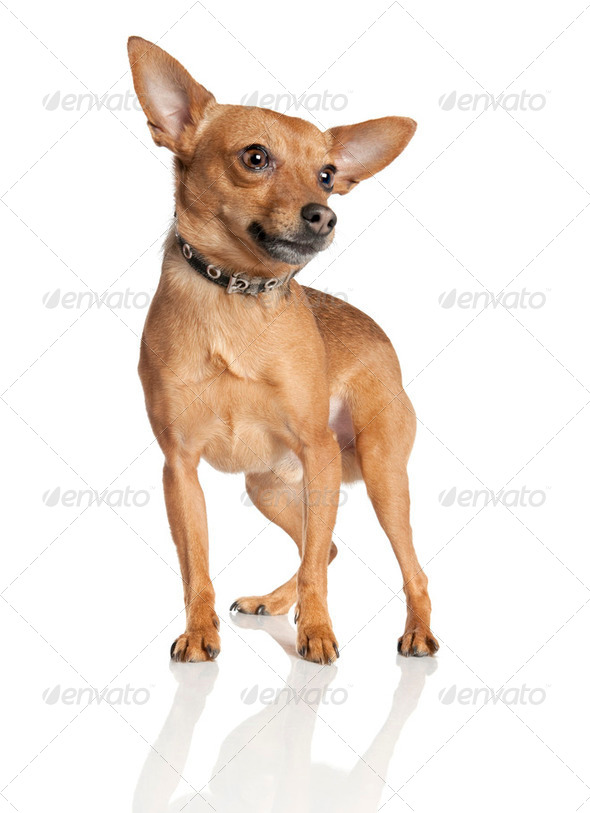 miniature Pinscher (5 years old) - Stock Photo - Images
