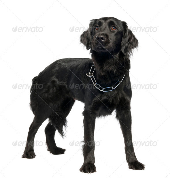 Mixed-Breed Dog between Newfoundland and unknown - Stock Photo - Images