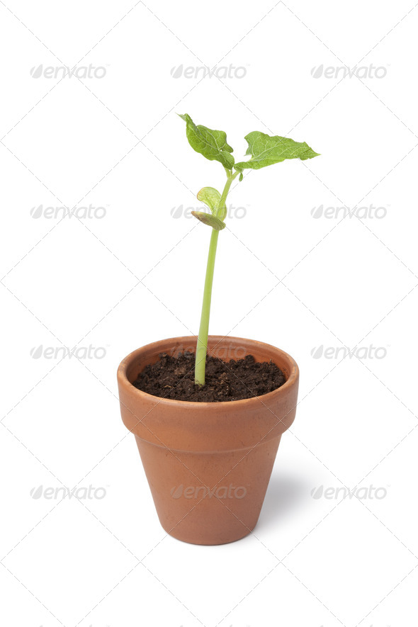 Expanding bean plant in a pot - Stock Photo - Images