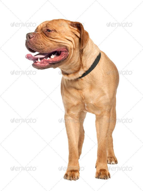 Mastiff (1 year old) - Stock Photo - Images