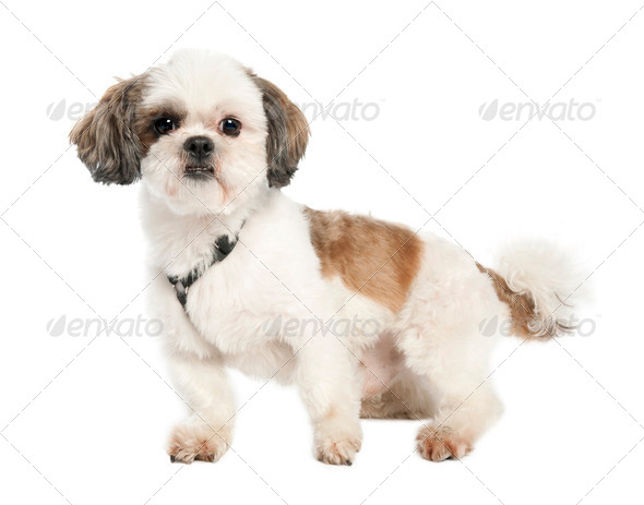 Shih Tzu (3 years old) - Stock Photo - Images