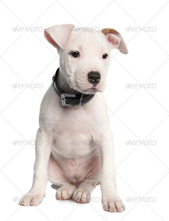American Staffordshire terrier puppy (2 months) - Stock Photo - Images