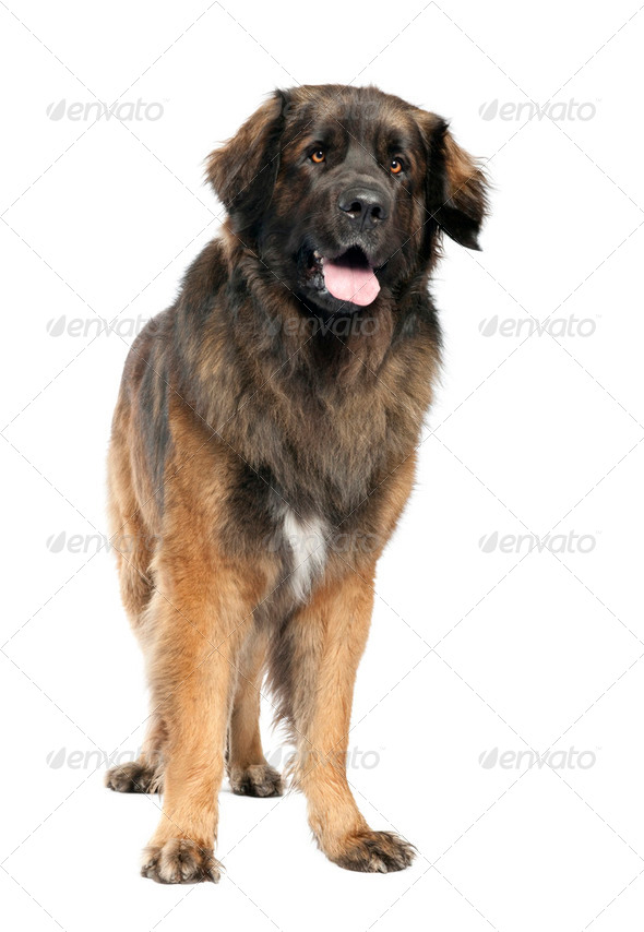 Leonberger (3 years old) - Stock Photo - Images