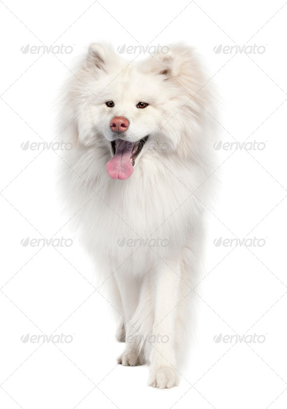 Akita inu (18 months old) - Stock Photo - Images