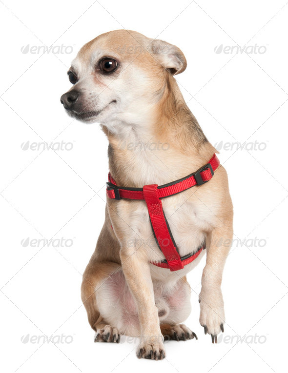 chihuahua (6 years old) - Stock Photo - Images