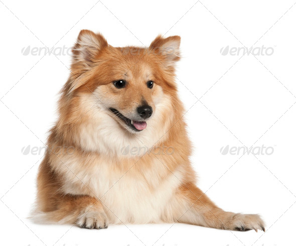Spitz (6 years old) - Stock Photo - Images