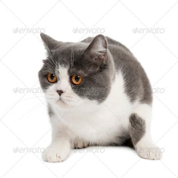 British Shorthair (3 years) - Stock Photo - Images