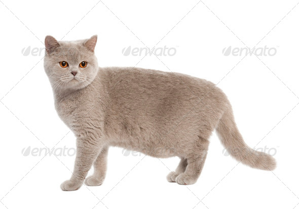British Shorthair kitten (8 months) - Stock Photo - Images