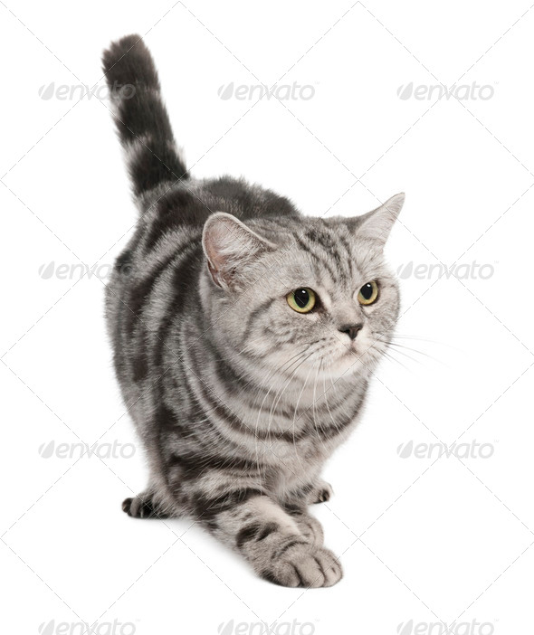 British Shorthair (3 years) - Stock Photo - Images