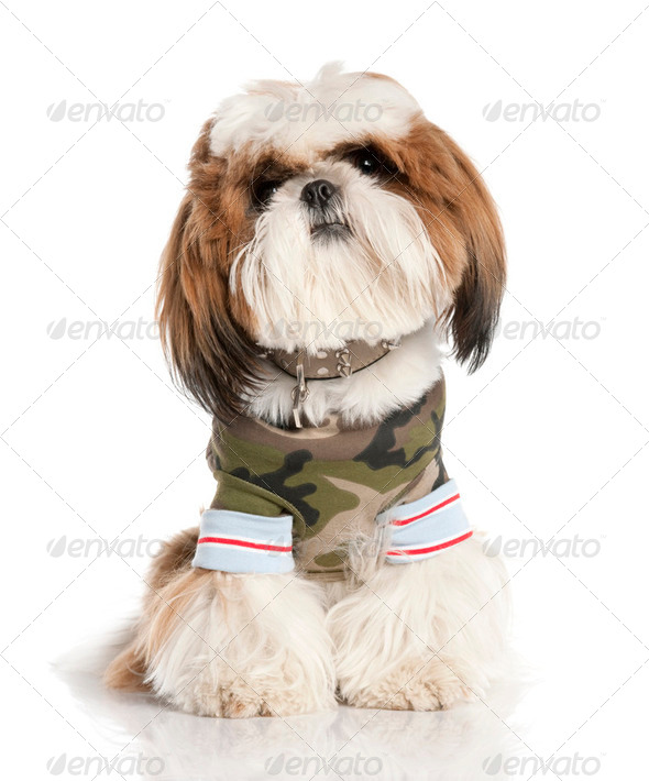 Shih Tzu (1 year) - Stock Photo - Images