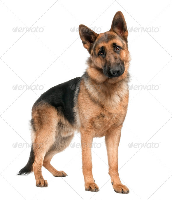 german shepherd (8 months) - Stock Photo - Images