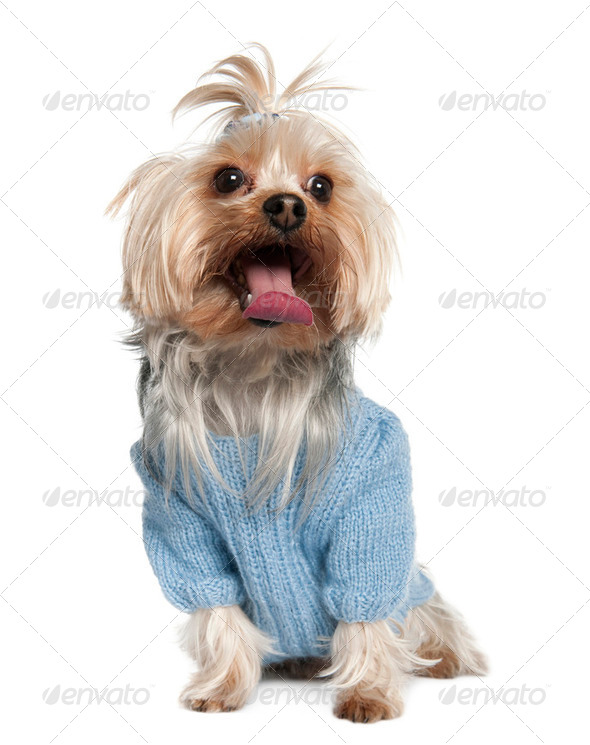 Yorkshire Terrier (4  years old) - Stock Photo - Images